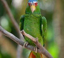 White Fronted Spectacled Amazon Parrot on Branch by HotHibiscus