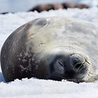 Weddell Seal, Antarctica by Neville Jones