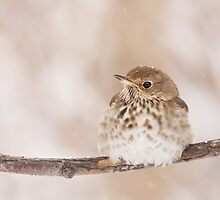 Hermit Thrush enjoying a light snowfall. by Daniel Cadieux