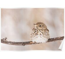 Hermit Thrush enjoying a light snowfall. Poster