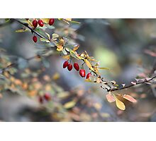 Natures Berries Photographic Print