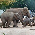 Asian Elephants by AnnDixon