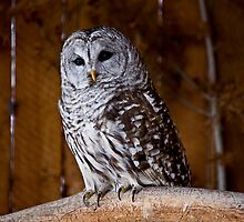 Barred Owl by Pam Hogg