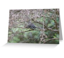 Adult Grey Fantail at the pond  Greeting Card