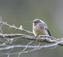 Juvenile Grey Fantail at the pond by Ron Co