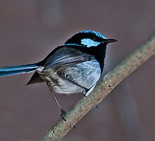 Superb Fairy Wren by Tom Newman
