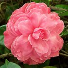 Camellia Flower by 3Cavaliers
