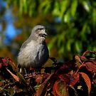 A Lovely Autumn Song  (Northern Mockingbird) by Robert Miesner