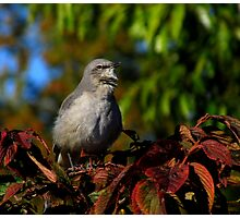 A Lovely Autumn Song  (Northern Mockingbird) Photographic Print