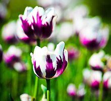 Tulip 3 by Jeanie93