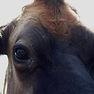 Who are you looking at? jersey cow by kremphoto