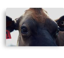Who are you looking at? jersey cow Canvas Print