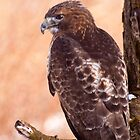 Red-tailed hawk by Robert Kelch, M.D.