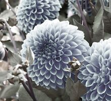 Blue Dahlias by BPhotographer