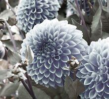 Blue Dahlias by BPhotographer