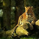 Sri Lankan leopard  by Norfolkimages