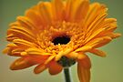 Yellow Gerbera by rhian mountjoy