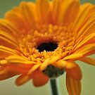Yellow Gerbera by rhian mountjoy