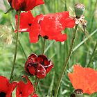 Poppies by ellismorleyphto
