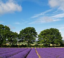 Lavender Fields near Selborne, Hampshire by Alex Cassels