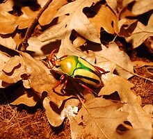 Beautiful Flower Chafer Scarab Beetle on Leaf Litter by HotHibiscus