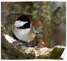 Black-capped Chickadee in Lichen Covered Tree Poster