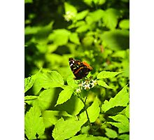 Red Admiral In Ohio Photographic Print