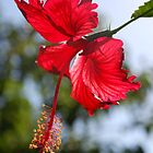 Hibiscus in the sun by Catherine Davis