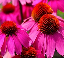Hot Pink Beautiful Cone Flowers by autumnwind