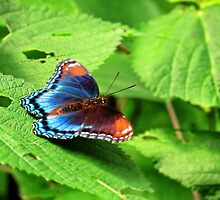 Red Spotted Admiral In Ohio by SRowe Art