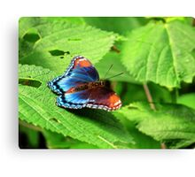 Red Spotted Admiral In Ohio Canvas Print