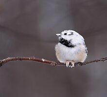 Teeny Tiny Branch / Leucistic Black Capped Chickadee by Gary Fairhead