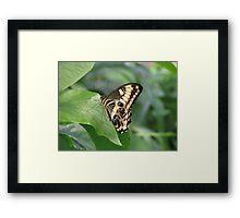 Emperor Swallowtail Framed Print
