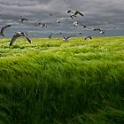 Gulls over a Grain Field by Randall Nyhof