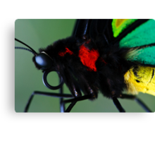 Cairns Birdwing II Canvas Print