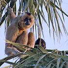 Gibbons by Sue  Cullumber