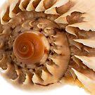 Sea shell macro detail by homydesign