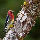 Red-Breasted Sapsucker by DJ LeMay