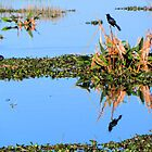 Fish Crow in the Marsh by Rosalie Scanlon