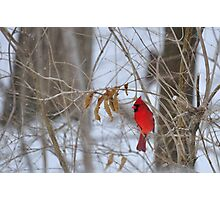 Red Cardinal in winter Photographic Print