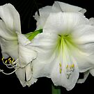 White Amaryllis by cclaude