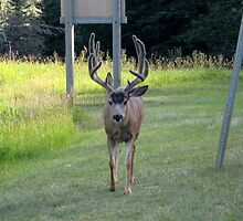 A Stag Elk Walking by the Side of the Road. by Maureen Dodd