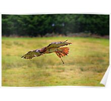 Leah ~ Red-Tailed Hawk Poster
