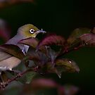 Graybacked Silver Eye with Dinner by DespinaT