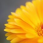 Orange Daisy Love by Amy Dee