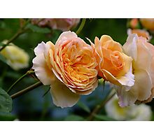 An Old Fashion David Austin Rose! Photographic Print