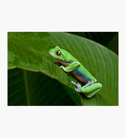 Green Eyed Tree Frog Photographic Print
