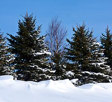 Pine Trees and Snow Caps by Tim Denny