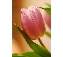 Gentle Tulip  Photographic Print