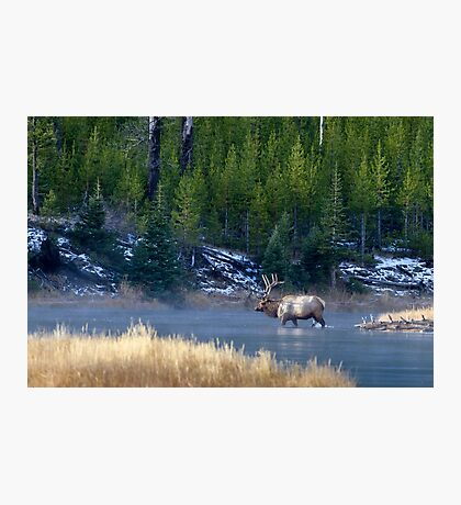 Yellowstone National Park, Elk in the Madison River Photographic Print